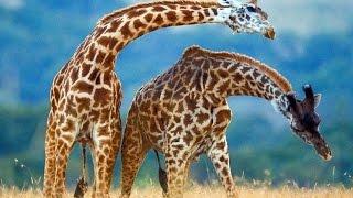 Con hươu cao cổ - Giraffe song
