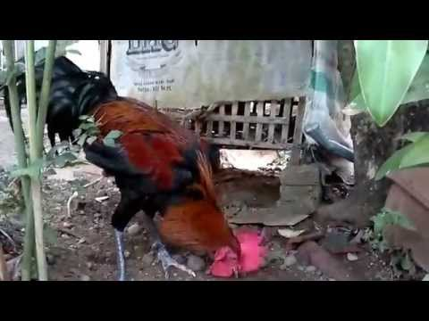 Kokok Panjang Ayam Pelung Jepara (izam) video