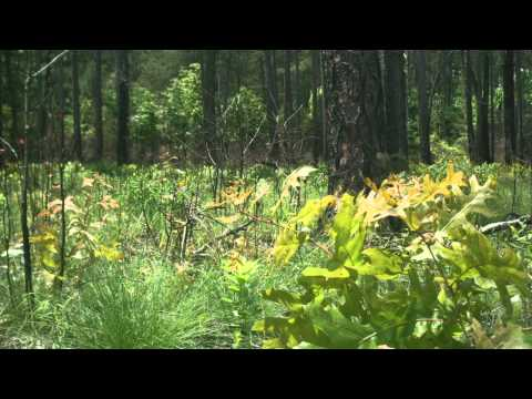 How Fire Can Restore a Forest: A Time-Lapse (Ground View)