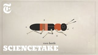 How the Rove Beetle Evolved to Deceive Ants | ScienceTake