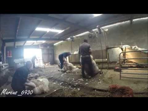 Sheep Shearing - July 2015