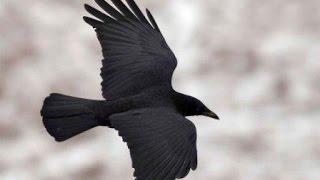 chasse corbeau /crow hunting