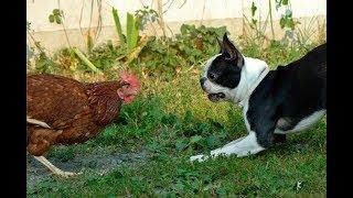 Dog vs Chicken  Fight   Funny Animals Fight Videos