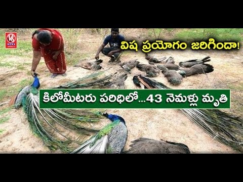 43 Peacocks Found Dead Near Madurantakam, Poisoning Suspected | Madurai | V6 News