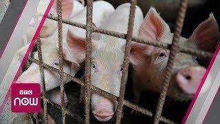 """Khủng hoảng thịt lợn: """"Cơn sốt giá"""" có lên ngôi?"""