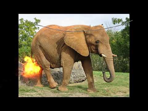 Random elefánt
