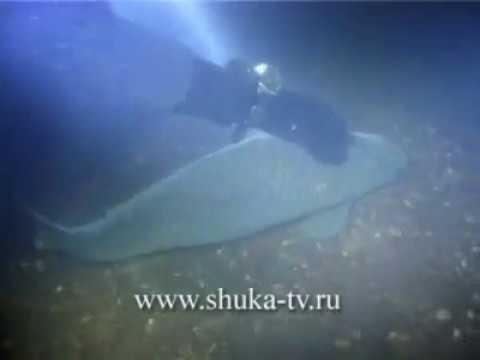 Подводные съемки на Днепре часть 2 Сазаны