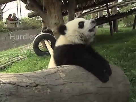 In training for the Panda Games