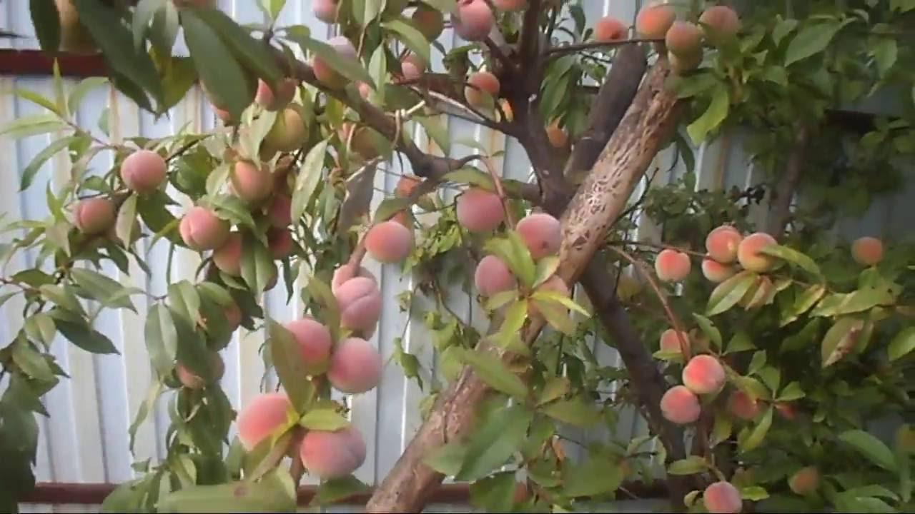 Персик в сибири выращивание 41
