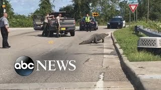 11-foot gator stops traffic on North Carolina road | ABC News
