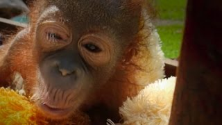Baby Orangutan Who Was Shot In The Shoulder Starts To Trust Again