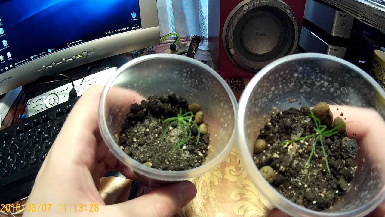 Как сажать голубую ель из семян 920