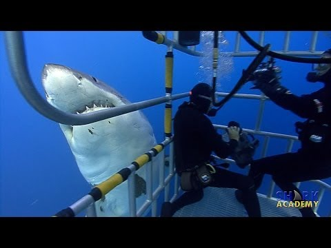 Shark Academy: Great White Sharks