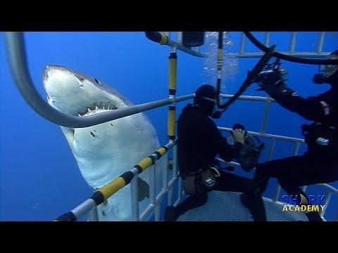 Great White Sharks | SHARK ACADEMY