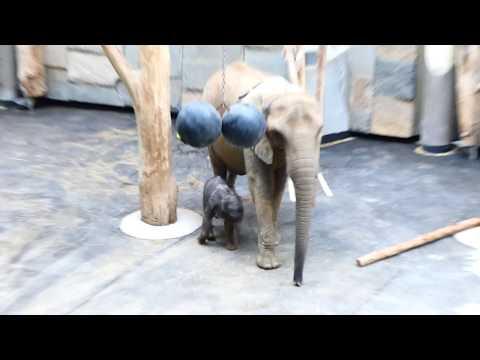 Elefanten Baby Schönbrunn, geboren am 13. 8 Tage alt! Kibali. Elephantida 22. VII. – Lumix fz82/83