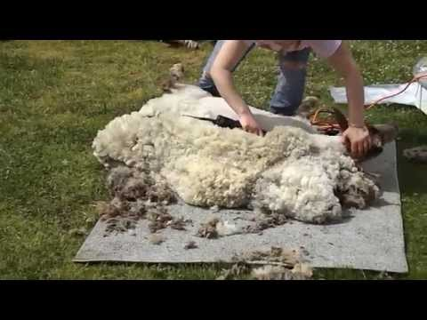 Shearing Sheep at Farmers' Market