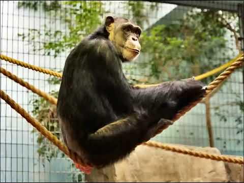 Sonido del chimpance