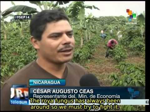 Nicaragua: government program assists coffee growers