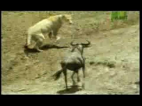 Aslanın Değişik Bufalo Avı
