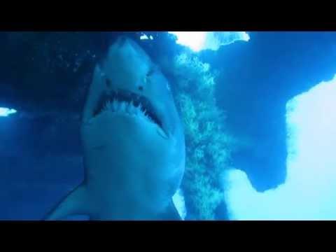 Sand Tiger Sharks on the Aeolus shipwreck, North Carolina