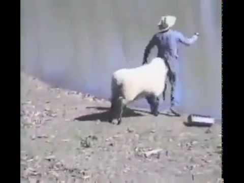 Sheep hits man on his butt - Must Watch Funny Video