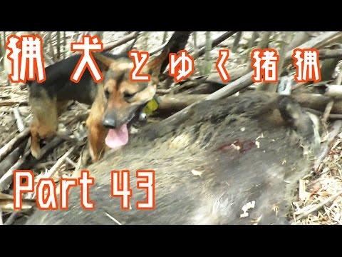 狩猟   Part 43 猟犬とゆく猪猟  単犬で雌猪を捕獲 【閲覧注意】