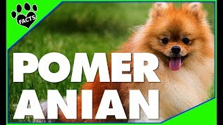 Dogs 101: Pomeranian Top 10 Facts Most Popular Dog Breeds - Animal Facts