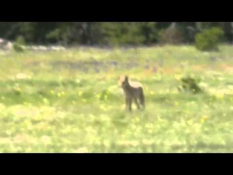 USA - Yellowstone wolf