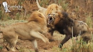 Old Lion King Fights Until His Last Breath in Epic Kruger Park Battle.