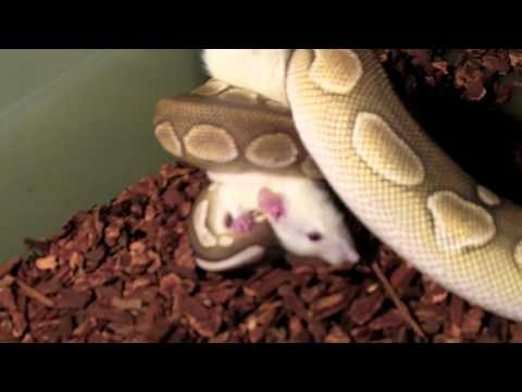 Ball Pythons (Live Feeding)