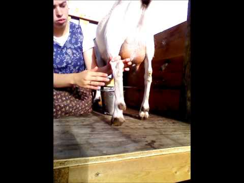 How to Hand- milk a Goat. by Alayna May