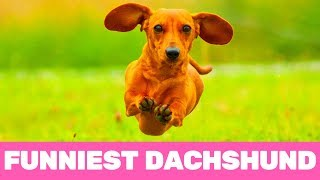 Try Not To Laugh! Funniest Dachshund Moments of 2020
