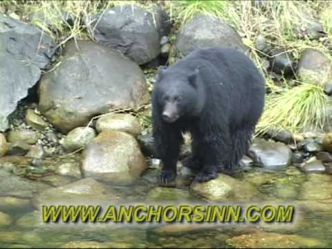 Bears Fishing in Ucluelet, British Columbia