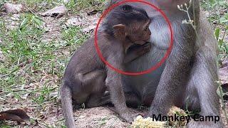 Baby monkey breastfeeding, Baby monkey want milk, Monkey Camp part 506