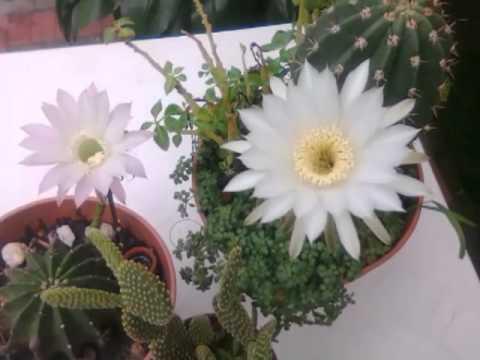 Videos de cactus y plantas suculentas en youtube - Plantas para estanques de jardin ...