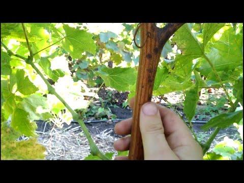 Что делать если виноград жирует