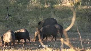 Pigman Burns Down 3 Javelina with a Bow in Minutes