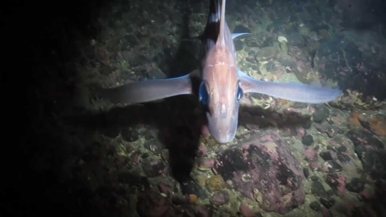 Ghost Shark Hd 1080p    Chimaera Monstrosa    Rat Fish    Havmus   Poison