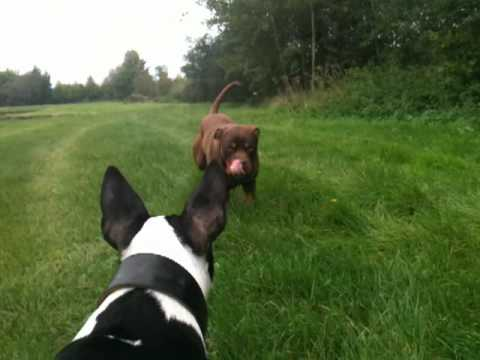 Bull terrier vs Rottweiler/Bordeaux dog