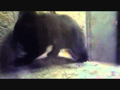 上野動物園ツキノワグマ_タロコの赤ちゃん急接近