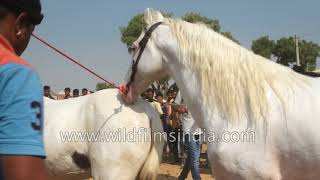 Stallion breeding: Prancing horse has a procreative rendezvous in Rajasthan: Viewer discretion