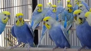 طيور الحب بادجي  Budgies Birds