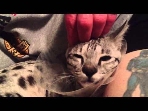 F2 savannah ear massage post-surgery