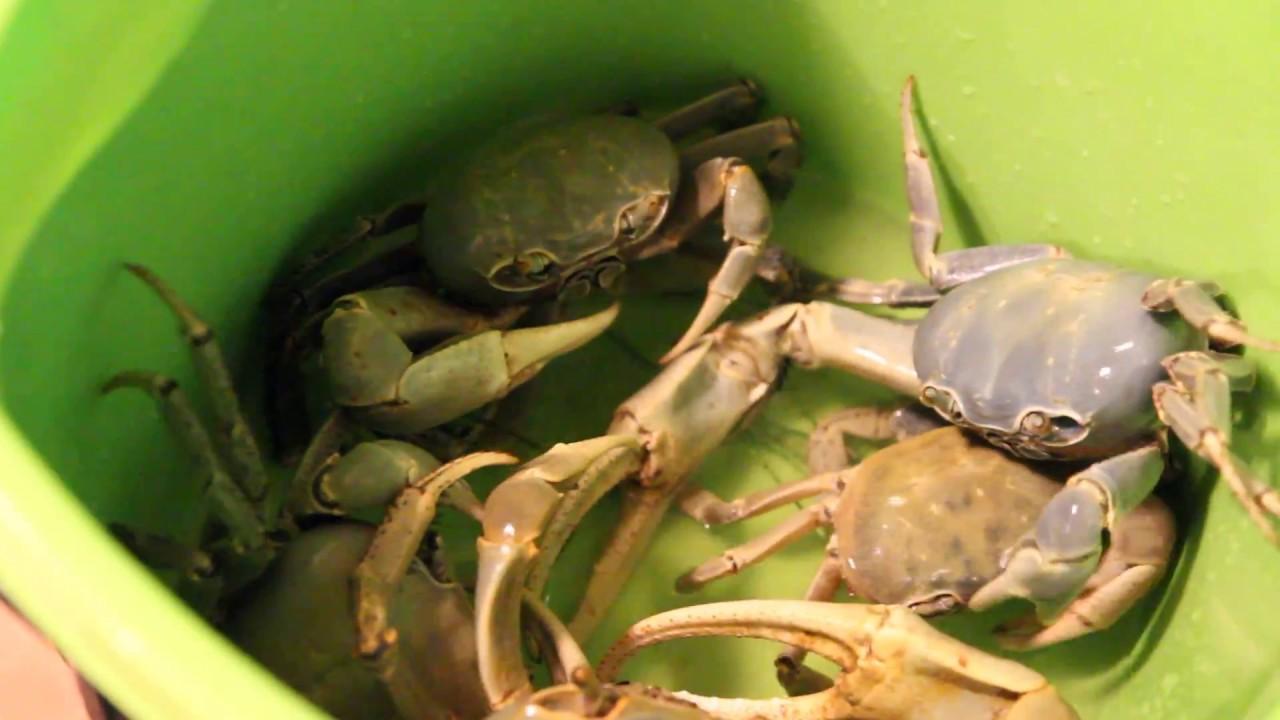 Blue Land Crab Recipe Blue Land Crabs in Jamaica