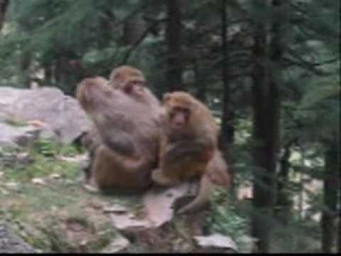 Funny Monkey Attack Video