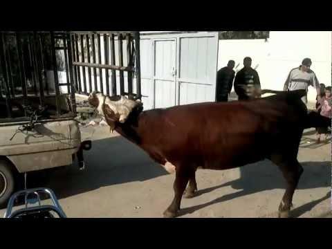 unique way in calf slaughter طريقة نادرة لذبح عجل