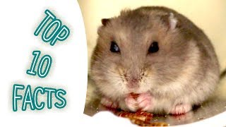 Winter white hamster Top 10 facts about winter white dwarf hamster maybe you dont know | MyFarm DuDu
