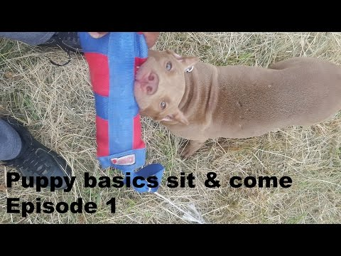 episode 1 following the leash walking sit front obedience puppy training pitbull pup rednose