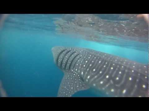 Whale sharks: Big Fish, Big Pond