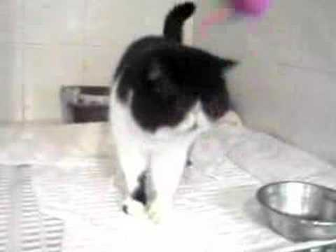 Exotic Short Hair Cat - Bi-color Playing Video